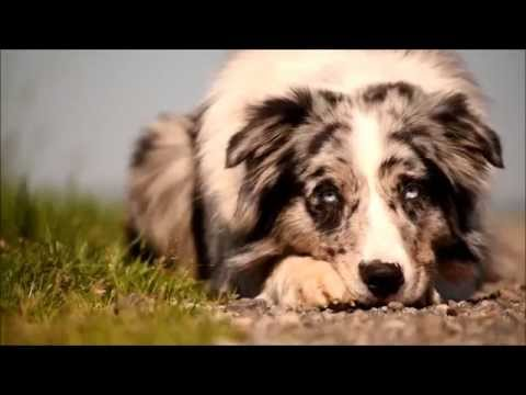 Dog tricks with Dexter the Australian Shepherd