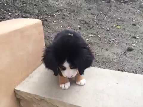 Berner Puppy Hiccuping & Walking Down Stairs