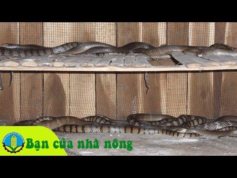 Mô hình, kỹ thuật nuôi rắn hổ trâu an toàn, thu nhập cao
