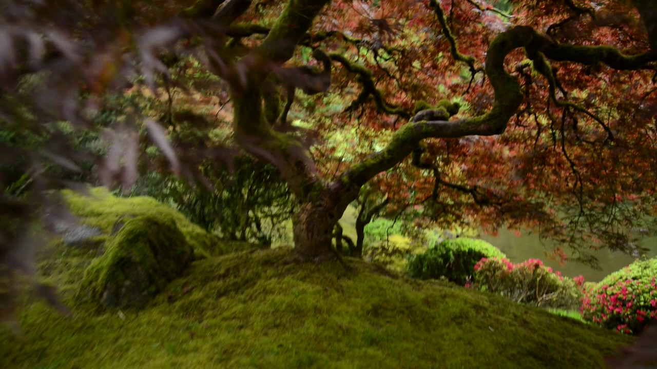 The Most Photographed Tree In America? Portland Japanese Garden ...