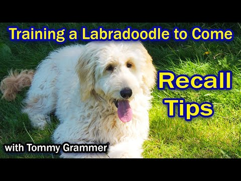 Training Labradoodle To Come When Called
