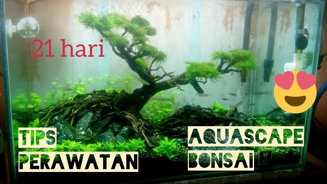 Tips merawat aquascape thema Bonsai - YouTube