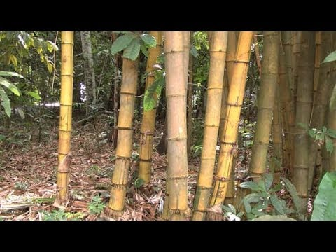 Ghana to establish Bamboo processing centre