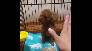 【Pet dog evening meal to eat】6/25 愛犬ショコラの夕ご飯 thumbnail