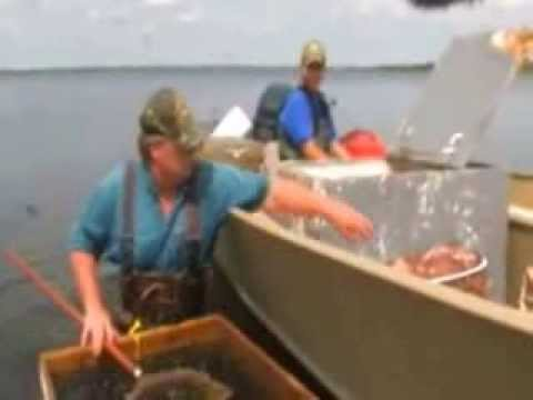 Spottail Shiners Live Bait Trapping In Minnesota Waters