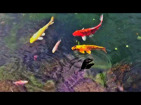 Koi Fish Pond With Calming And Relaxing Water Sound