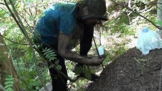 Муравьи Formica rufa размножаются