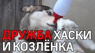 Сибирский хаски дружит с козленком в Турции. Доброе видео про дружбу животных