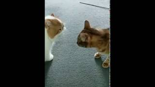 Cat Series: When 2 different cat breeds are talking to each other