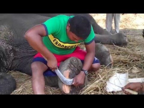 Teaching mahouts (elephant keepers) to trim feet in Nepal