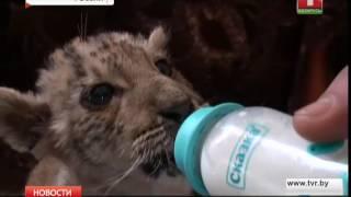 В передвижном зоопарке Ростовской области родился лигр