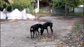 Rottweiler Vs.doberman..