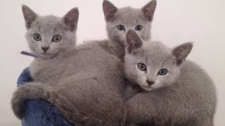 Russian Blue Cat Kittens Playing | Funny Russian Blue Cats