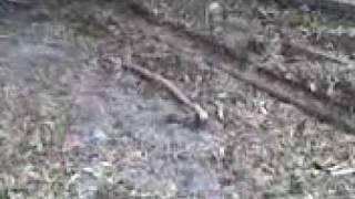 English Bull Terriers In Rat Hunting