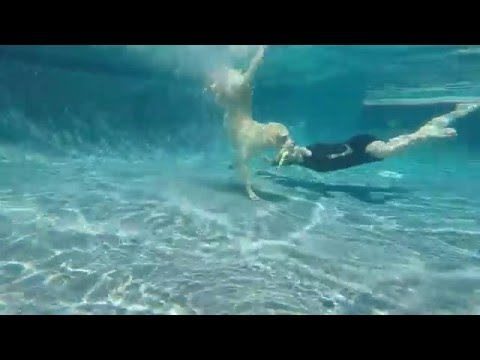 Labrador Retriever Keeper dives underwater in swimming pool with Mermaid Jana for toypedo dog toy