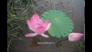 Herbal Medicine - Nelumbo nucifera - Natural Remedy for Cardiac ailments
