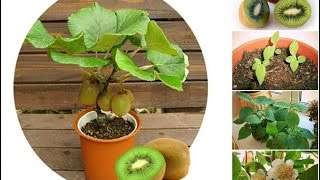 INDOOR PLANTS: I bet you didnt know this about kiwi fruit plant