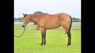 Buckskin Quarter Horse - Sugar Lady Baron