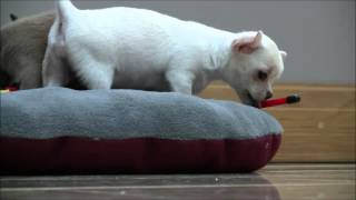 Chihuahua Puppies 10th March 2016