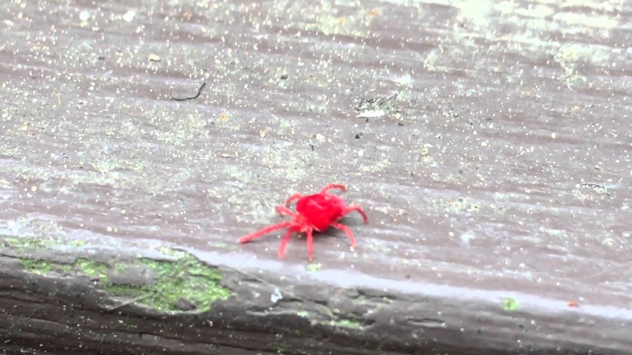 Cute Little Bug (Clover Mite)   YouTube