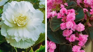 How to plant Double Begonias: Jeff