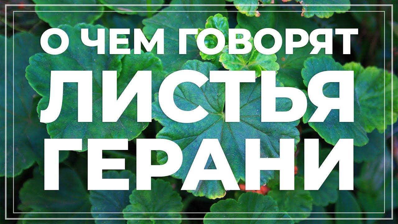 Листья герани желтеют, краснеют, сохнут, скручиваются... Болезни и вредители пеларгонии