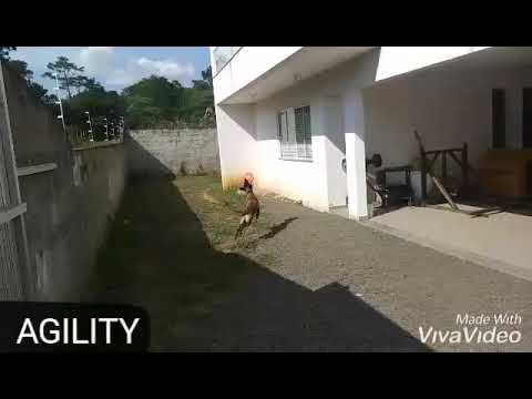 belgian-shepherd-malinois---tricks