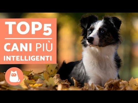 TOP 5 cani più INTELLIGENTI del mondo – Cani più intelligenti classifica