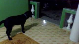 Dalmatian Vs Labrador Dogfight