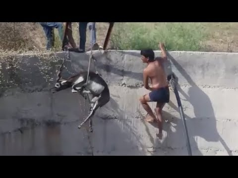 Villagers rescue Indian antelope out of 100 feet well
