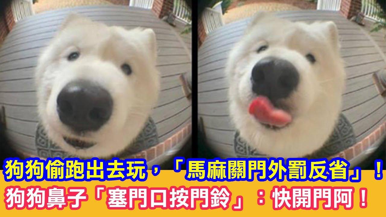 狗狗偷跑出去玩,「馬麻關門外罰反省」!狗狗鼻子「塞門口按門鈴」:快開門阿!|狗狗搞笑