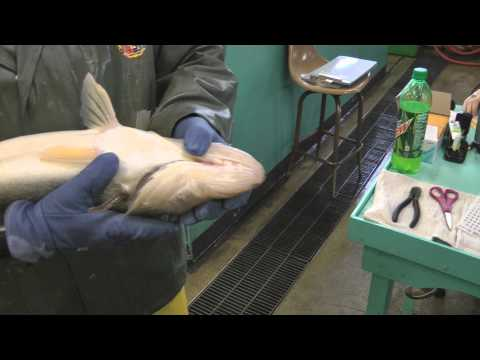 Walleye Tagging At Spirit Lake Fish Hatchery 2013. Iowa DNR Fisheries Iowa Great Lakes