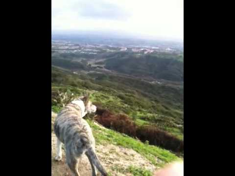 morning walk with australian cattle dog/pitbull mix