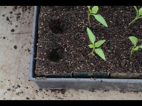 видео: Как пикировать рассаду перца