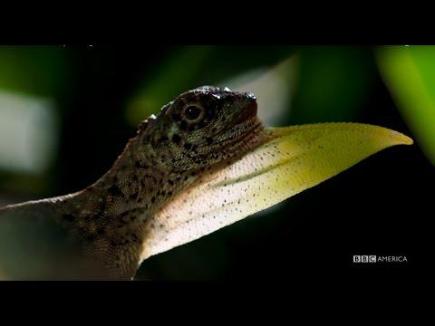 Flying Lizards Soar Like Dragons - Planet Earth II