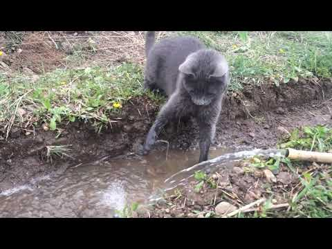 Roxy the Korat Cat Playing in Water
