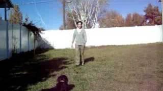 Borador Puppy - 6 Months