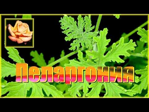Как сделать красивый, пышный куст душистой пеларгонии. Комнатные растения.