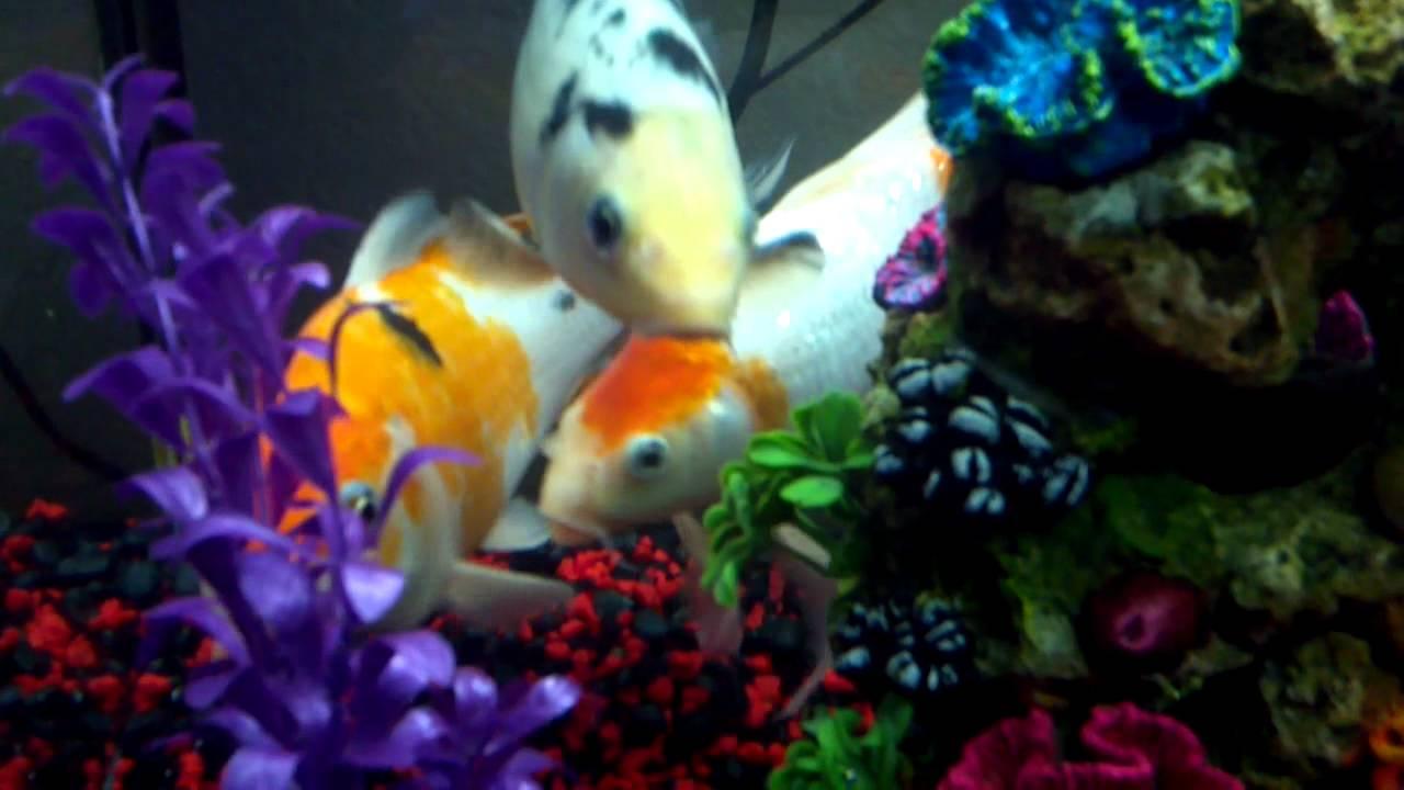 49 Best Chest Koi Fish Tattoos Images On Pinterest: 55 Gal Koi Fish Aquarium