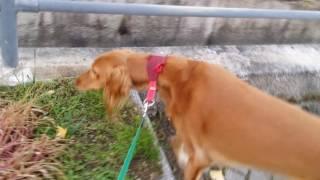 サルーキ犬 『きいろ』の散歩2.