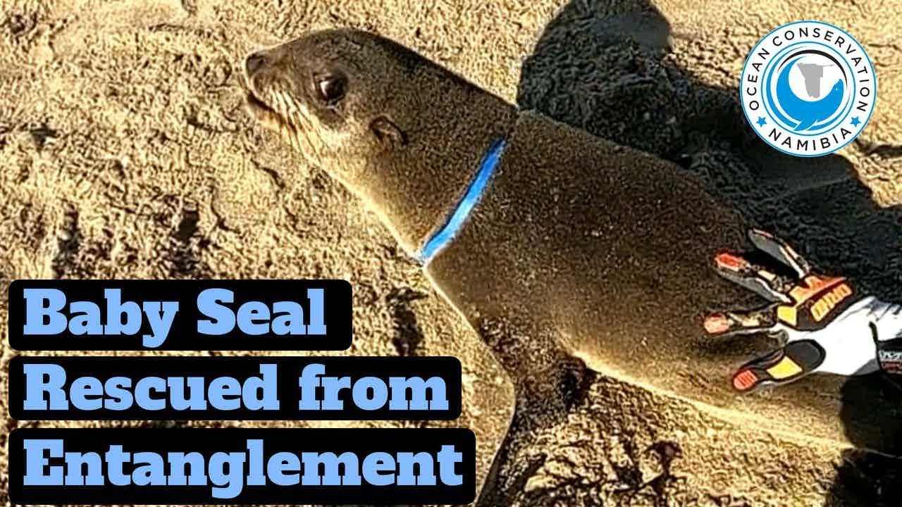 Baby Seal Rescued from Blue Packaging Strap
