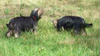 Yorkshire Terrier - Puppies On The Walk