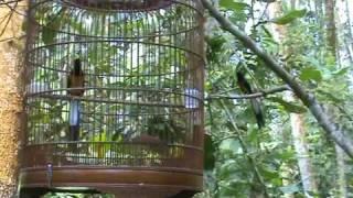 Repeat youtube video Caged Shama Vs Wild Shama