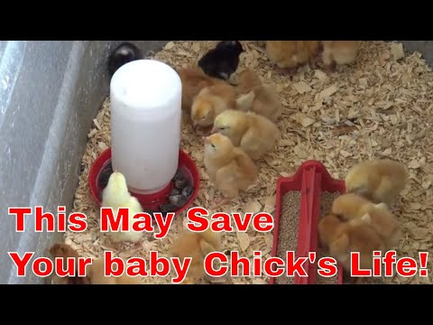 how-to-raise-baby-chicks