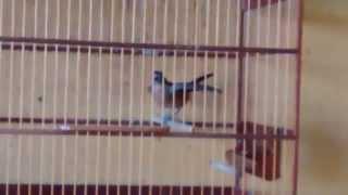 Fêmea de azulão pedindo gala ao macho