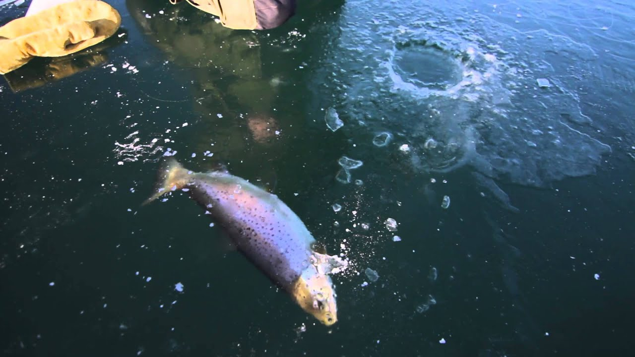 Ice Fishing Big Brown Trout - YouTube