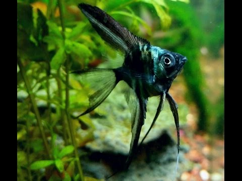 Blue Angelfish | Blue Angelfish Pinoy Youtube