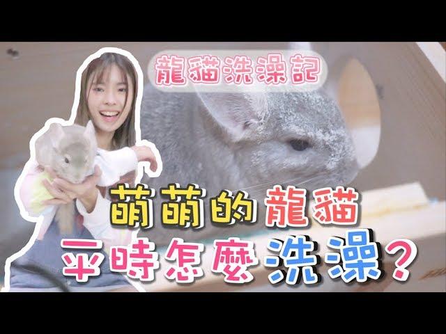 【寵物】龍貓平時怎麼洗澡?樣子超萌!麻薯回來啦~