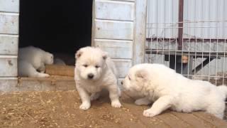 видео щенки алабая