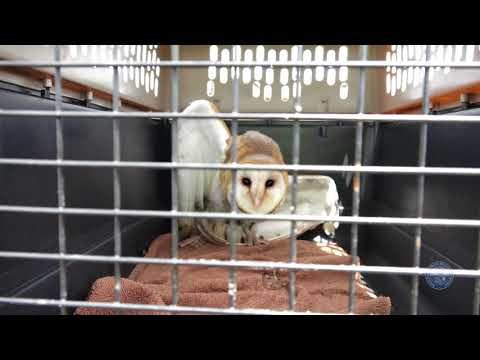 SFWMD Biologists Rescue a Barn Owl in the Everglades